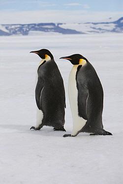 Emperor Penguin (Aptenodytes forsteri) pair walking over ice, Admiralty Sound, Antarctica  -  Lex van Groningen/ Buiten-beeld