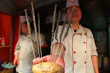 Centipedes scewered for sale as food, Xiao Chi Jie Market, Beijing, China  -  Mark Moffett