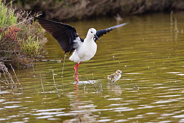 Black-winged Stilt (Himantopus himantopus) wading with chick, S'Albufera Natural Park, Mallorca, Balearic Islands, Spain  -  Konrad Wothe
