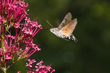 Hummingbird Hawk-moth (Macroglossum stellatarum) feeding on flower nectar, Bavaria, Germany  -  Konrad Wothe