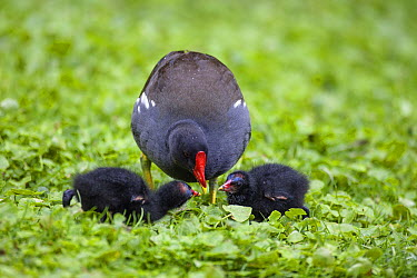 Common Moorhen (Gallinula chloropus) parent feeding chicks, Bavaria, Germany  -  Konrad Wothe