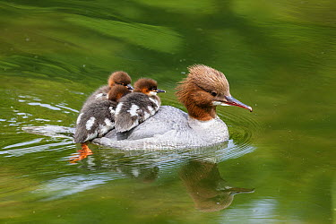 Common Merganser (Mergus merganser) mother carrying chicks on water, Upper Bavaria, Germany  -  Konrad Wothe