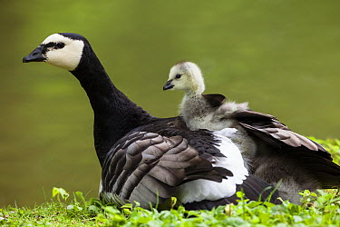 Barnacle Goose (Branta leucopsis) carrying goslings, Bavaria, Germany  -  Konrad Wothe