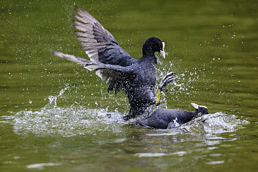 Coot (Fulica atra) pair fighting, Bavaria, Germany  -  Konrad Wothe
