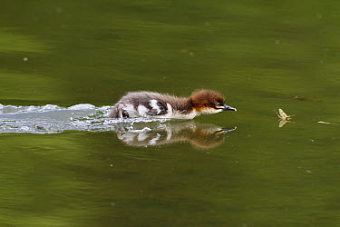 Common Merganser (Mergus merganser) chick hunting mayfly, Upper Bavaria, Germany  -  Konrad Wothe