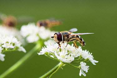 Marmalade Hover Fly (Episyrphus balteatus) and Hoverfly (Scaeva pyrastri) pair in backgroun on flowers, Bavaria, Germany  -  Konrad Wothe