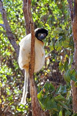 Crowned Sifaka (Propithecus verreauxi coquereli) in tree, Madagascar  -  Konrad Wothe