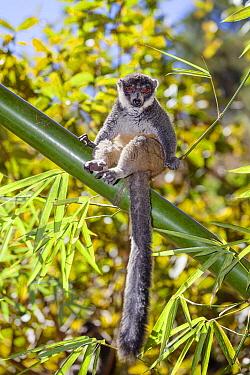 Mongoose Lemur (Eulemur mongoz) female in tree, Madagascar  -  Konrad Wothe
