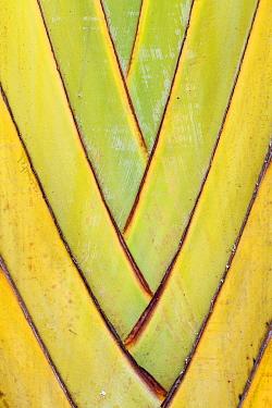 Travellers Palm (Ravenala madagascariensis) petioles, Ranomafana National Park, Madagascar  -  Konrad Wothe