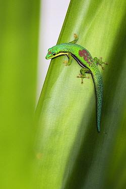 Striped Day Gecko (Phelsuma lineata), Pangalanes Canal, Madagascar  -  Konrad Wothe