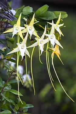 Comet Orchid (Angraecum sesquipedale) flowers, Madagascar  -  Konrad Wothe