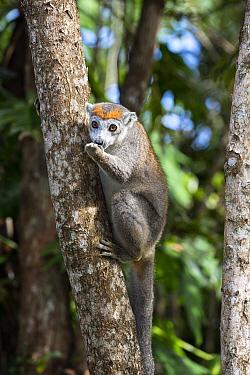 Crowned Lemur (Eulemur coronatus) female feeding in tree, Madagascar  -  Konrad Wothe