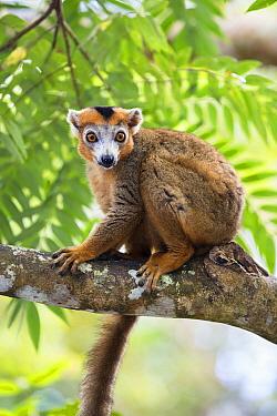 Crowned Lemur (Eulemur coronatus) male in tree, Madagascar  -  Konrad Wothe