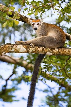 Crowned Lemur (Eulemur coronatus) female in tree, Madagascar  -  Konrad Wothe