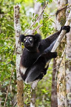 Indri (Indri indri) dark morph, Madagascar  -  Konrad Wothe