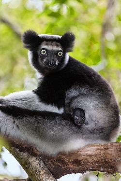 Indri (Indri indri) mother and young, Andasibe Mantadia National Park, Madagascar  -  Konrad Wothe