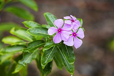 Rosy Periwinkle (Catharanthus roseus) flowers, Madagascar  -  Konrad Wothe