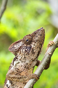 Spiny Chameleon (Chamaeleo verrucosus), Pangalanes Canal, Madagascar  -  Konrad Wothe
