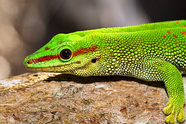 Madagascar Day Gecko (Phelsuma madagascariensis), Pangalanes Canal, Madagascar  -  Konrad Wothe