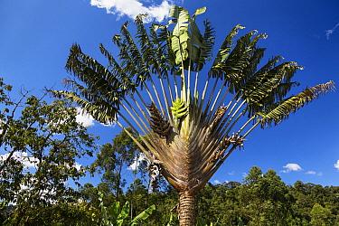 Travellers Palm (Ravenala madagascariensis), Ranomafana National Park, Madagascar  -  Konrad Wothe