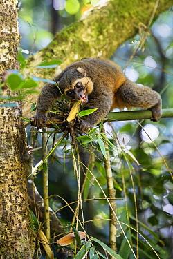 Golden Bamboo Lemur (Hapalemur aureus) male eating bamboo shoot, Ranomafana National Park, Madagascar  -  Konrad Wothe