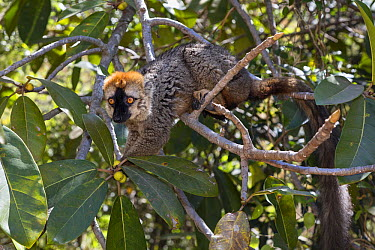 Red-fronted Brown Lemur (Eulemur fulvus rufus) male in tree, Isalo National Park, Madagascar  -  Konrad Wothe