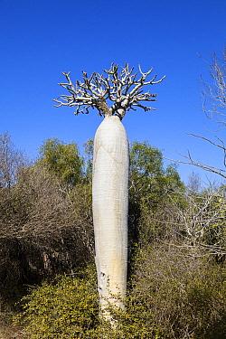 Bottle Tree (Pachypodium geayi), Isalo National Park, Madagascar  -  Konrad Wothe