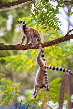 Ring-tailed Lemur (Lemur catta) pair in tree, Berenty Reserve, Madagascar  -  Konrad Wothe