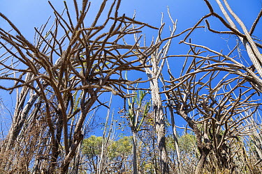 Octopus Tree (Didierea madagascariensis) in forest, Spiny Desert, Berenty Reserve, Madagascar  -  Konrad Wothe