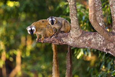 Red-fronted Brown Lemur (Eulemur fulvus rufus) female with young, Berenty Reserve, Madagascar  -  Konrad Wothe