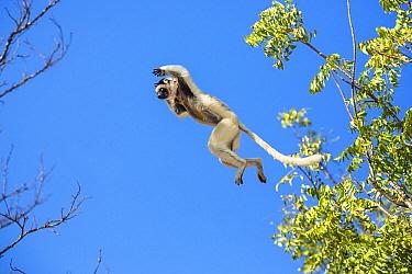 Verreaux's Sifaka (Propithecus verreauxi) jumping between trees, Berenty Reserve, Madagascar  -  Konrad Wothe