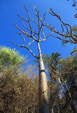 Madagascar Palm (Pachypodium lamerei), Andohahela National Park, Madagascar  -  Konrad Wothe