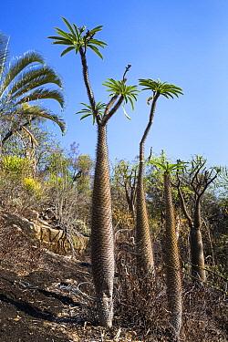 Madagascar Palm (Pachypodium lamerei) trees, Andohahela National Park, Madagascar  -  Konrad Wothe