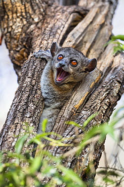 Red-tailed Sportive Lemur (Lepilemur ruficaudatus) in defensive posture in tree cavity, Kirindy Forest, Madagascar  -  Konrad Wothe