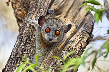 Red-tailed Sportive Lemur (Lepilemur ruficaudatus) in tree cavity, Kirindy Forest, Madagascar  -  Konrad Wothe