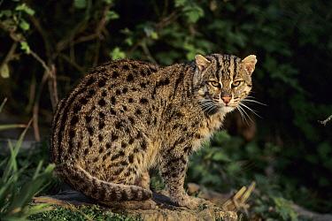 Fishing Cat (Prionailurus viverrinus) female, Asia  -  Terry Whittaker/ FLPA