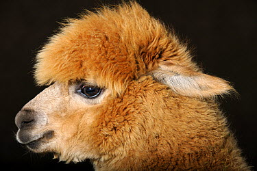 Alpaca (Lama pacos), Menterwolde, Groningen, Netherlands  -  Heidi & Hans-Juergen Koch