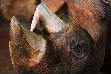 Black Rhinoceros (Diceros bicornis) horns, Krefeld, North Rhine-Westphalia, Germany  -  Heidi & Hans-Juergen Koch