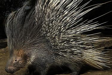 Crested Porcupine (Hystrix cristata) in defensive posture, Krefeld, North Rhine-Westphalia, Germany  -  Heidi & Hans-Juergen Koch