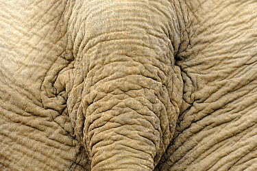 Asian Elephant (Elephas maximus) tail, Krefeld, North Rhine-Westphalia, Germany  -  Heidi & Hans-Juergen Koch