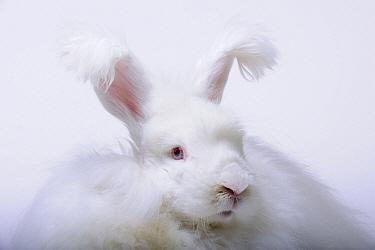 Angora Rabbit (Oryctolagus cuniculus) bred for fur, Freiburg, Baden-Wurttemberg, Germany  -  Heidi & Hans-Juergen Koch