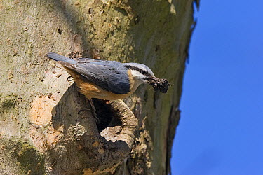 Wood Nuthatch (Sitta europaea) carrying clay to modify nesthole, Germany  -  Konrad Wothe