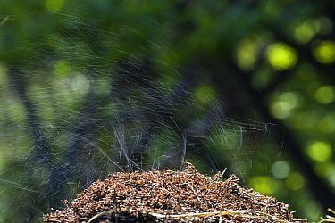 Red Wood Ant (Formica rufa) colony squirting acid, Bavaria, Germany  -  Konrad Wothe
