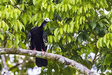 Blue-throated Piping-Guan (Pipile cumanensis), Tambopata River, Tambopata National Reserve, Peru  -  Konrad Wothe