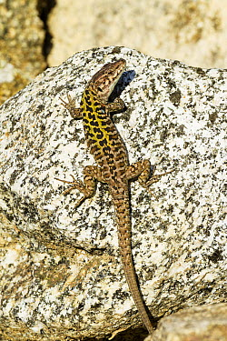 Italian Wall Lizard (Podarcis sicula) camouflaged on a rock, Italy  -  Konrad Wothe