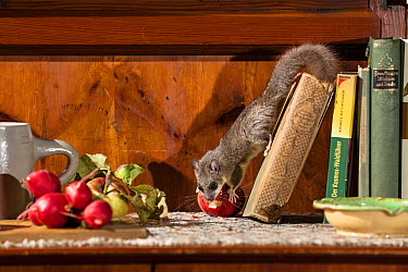 Fat Dormouse (Glis glis) stealing radish from kitchen counter, Germany  -  Konrad Wothe