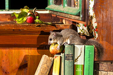 Fat Dormouse (Glis glis) stealing an apple from a kitchen, Germany  -  Konrad Wothe