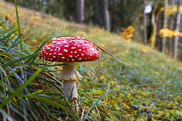 Fly Agaric (Amanita muscaria) mushroom, Bavaria, Germany  -  Konrad Wothe
