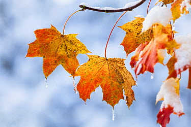 Norway Maple (Acer platanoides) autumn leaves after first snow, Bavaria, Germany  -  Konrad Wothe