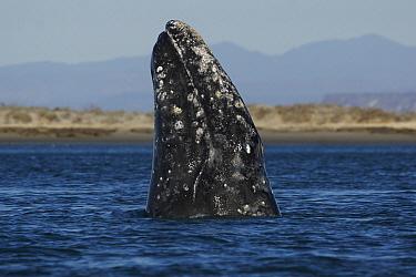 Gray Whale (Eschrichtius robustus) spyhopping, San Ignacio Lagoon, Baja California, Mexico  -  Hiroya Minakuchi